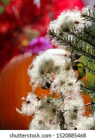 Closeup of a group of curly white fuzzy wild Clematis seed heads hanging from a pine bough, with a bright colorful fall background.