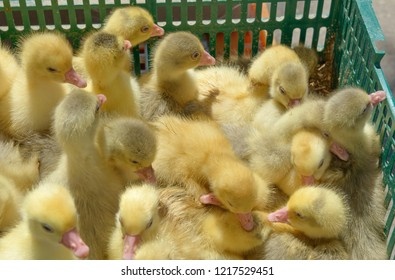 Close-up group of cute little yellow ducklings that are thronging in green plastic box in bright sunlight.