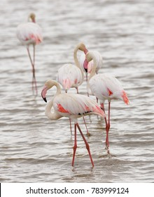 closeup of a group of Flamingo's (Phoeniconalas minor) in Lake Manyara, Tanzania
