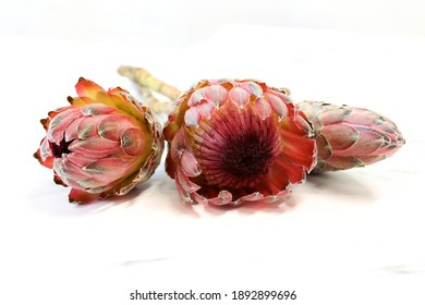 Close-up of a group of protea flowers on a white background