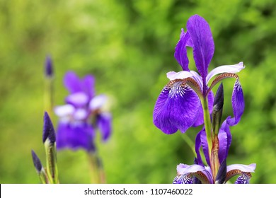 Close-up of a group of Sibirian iris flowers and buds with a green background
