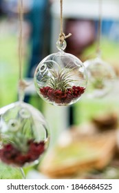 Closeup of group of tillandsia air plants kept in circular glass ball with soil hanging with rope