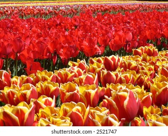 Closeup of group of tulips