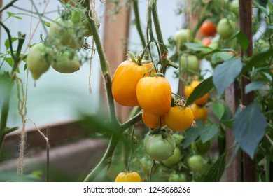 Closeup group of Yellow and green organic tomatoes growing in greenhouse.