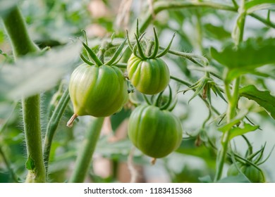 Closeup group of young green tomatoes growing in greenhouse. Green tomatoes plantation. Organic farming. Agriculture concept. Unripe tomatoes fruit on green stems.