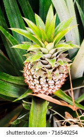 Closeup of a growing Pineapple from above