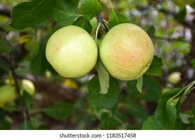 Closeup of growing ripe yellow and red apples in an apple tree