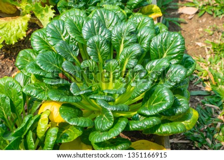 Closeup Growing Tatsoi Stock Photo Edit Now 1351166915