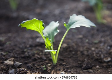 Closeup of The growth of young plant kohlrabi cultivated in the fertile soil
