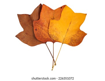 A closeup of a grungy Yellow Poplar leaves bouquet in autumn foliage colors isolated against a white background.