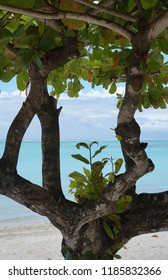Closeup of Guettarda speciosa tree on the beach
