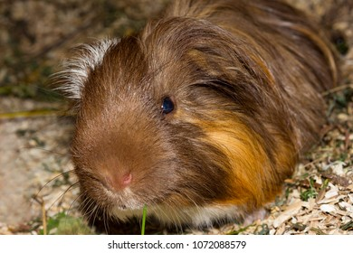 Closeup of a guinea pic (Cavia porcellus) while it is eating some grass.