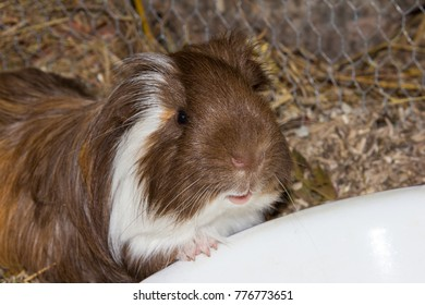 Closeup of a guinea pig in front of a feeding dish.