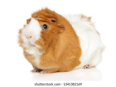 Close-up of Guinea pig on white background. Animal themes