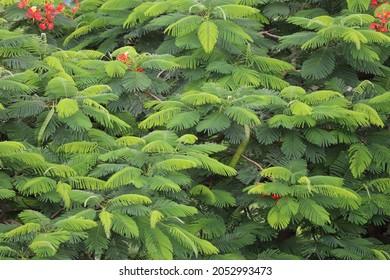 Closeup of Gulmohar flowering tree