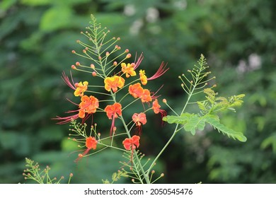 Closeup of Gulmohar tree flowers and leaves