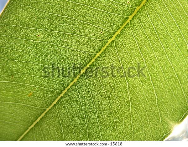 Close-up of a gum leaf