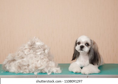 Closeup haircute dog grooming. Concept Shih tzu pile wool