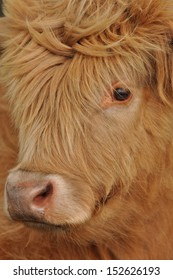 Closeup of a Hairy face from Highland Cow