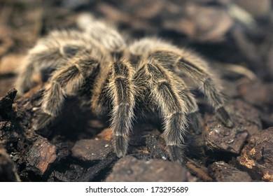 Closeup of hairy legs of a giant tarantula