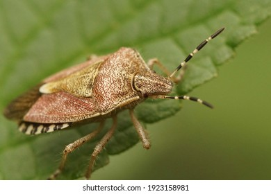 Closeup of the hairy shieldbug ,  Dolycoris baccarum  in the garden on a green leaf