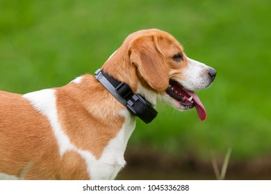 Close-up of half body of a beagle puppy Bicolor caramel and white tongue with a green grass outside
