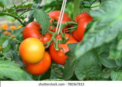 Closeup of half ripe tomatoes growing in a private garden