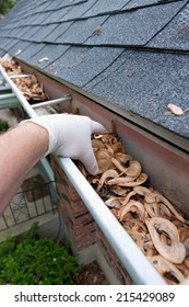 Closeup of a hand cleaning gutters filled with maple seeds