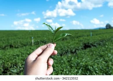 Closeup hand to harvest tea leaf at tea plantation