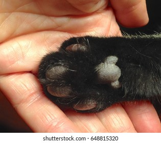 Closeup of hand holding black hind paw of a cat bottom up