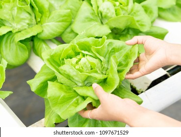 Closeup hand holding fresh vegetable hydroponic in field, healthy eathing concept, selective focus