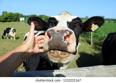 Close-up of hand petting a Holstein Friesian cow on the nose out on pasture with a few cows in the background