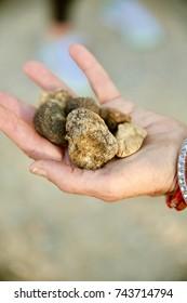 Closeup of a handful of fresh white Italian truffles