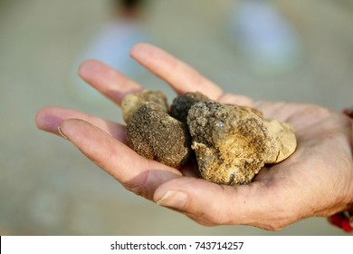 Closeup of a handful of fresh white truffles.
