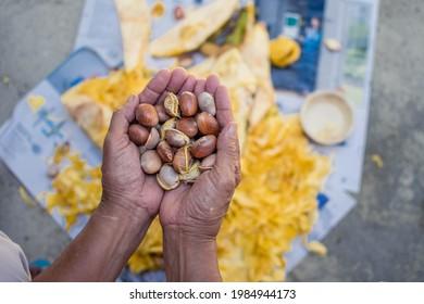Closeup of the hands of Asian women holding Jackfruit seeds. Jackfruit flesh separation by male hands on jack fruit background.