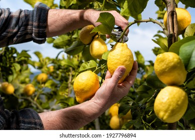 Close-up of the hands of the farmer who harvest the lemons in the citrus grove with scissors. Traditional agriculture.