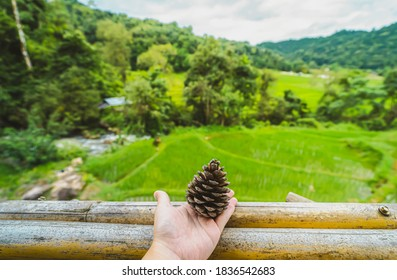 Close-up of hands holding dried pine cones on a wooden balcony. Blurred background of fields rice with different curves and waterlogging in basins in the rainy season. The idea for natural wallpaper.