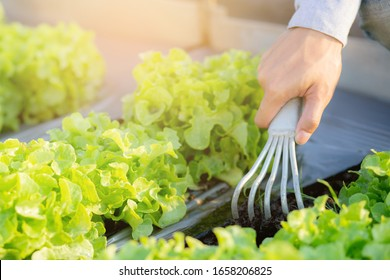 closeup hands of man farmer shovel dig fresh organic vegetable garden in the farm, produce and cultivation green oak lettuce for harvest agriculture with business in the field, healthy food concept.