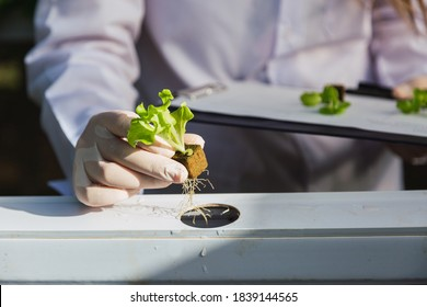Closeup of hands planting a hydroponic lettuce plant Professional works in a hydroponic nursery. Concept of growing organic vegetables and health food.