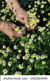closeup of hands of senior woman, picking blooming wildflowers camomile (Matricaria chamomilla) - homeopathic flowers , vertical composition