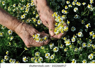 closeup of hands of senior woman, picking blooming wildflowers camomile (Matricaria chamomilla) - homeopathic flowers