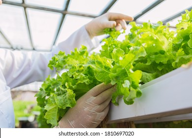 Closeup of hands working hydroponic lettuce.  Green, fresh and healthy vegetables.