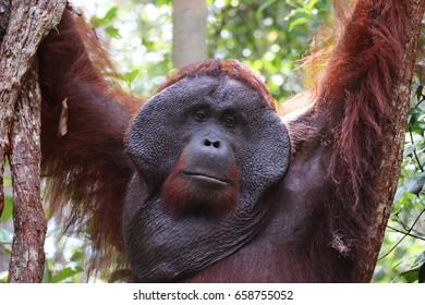 Closeup of hanging alpha male orangutan, Tanjung Puting National Park, Borneo.
