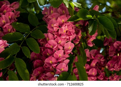Closeup of Hanging Bundle of Pink Flowers on a Blooming Black Locust Tree in Early Spring