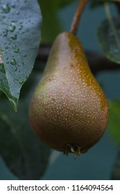 Closeup of Hanging Pear