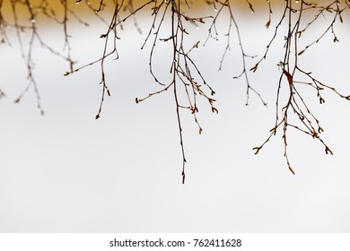 Closeup of hanging wet birch tree branches