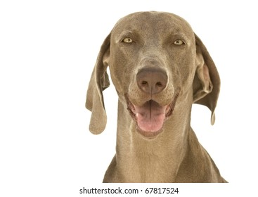 Close-up to a happy dog, purebred hunting Weimaraner, also known as silvery, gray or silver ghost, isolated over white background