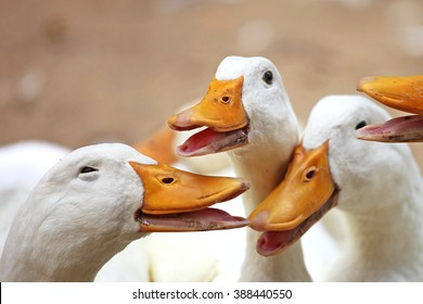 Closeup of happy ducks