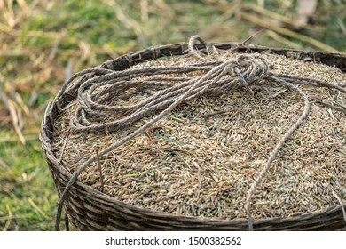 A closeup of harvested rice grain husks in a basket with a rope on top ready for transportation on a yoke.