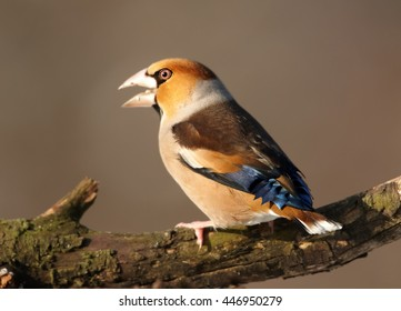 Close-up Hawfinch, Coccothraustes coccothraustes sitting on branch with opend beak.  Colorful male of Hawfinch from side view. Winter, Europe, Czech republic.